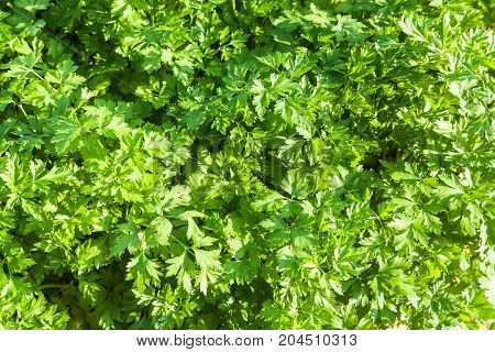 The green leaves of parsley lit with sunlight