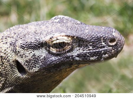 A Close Up of a Komodo Dragon or Komodo Monitor