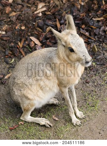 A Patagonian Mara (Dolichotis patagonum) a Large Rodent aka Cavy Hare or Dillaby