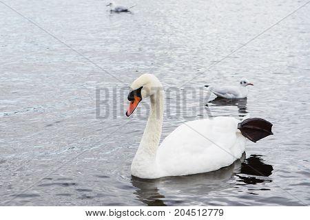 Swan Family, Swan Love.