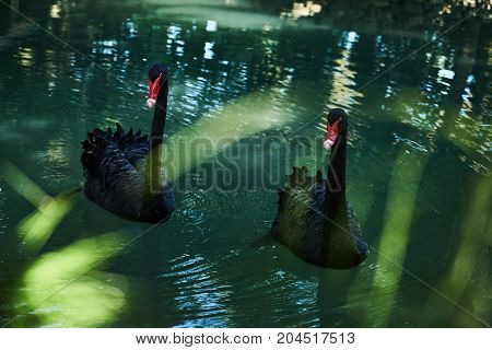 Two Black Swans Float In Pond Water