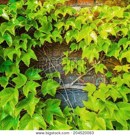 Parthenocissus tricuspidata against the background of a brick wall. Place for an inscription. Textured background.