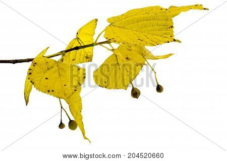 Autumn concept: branch of linden with yellow leaves on white background