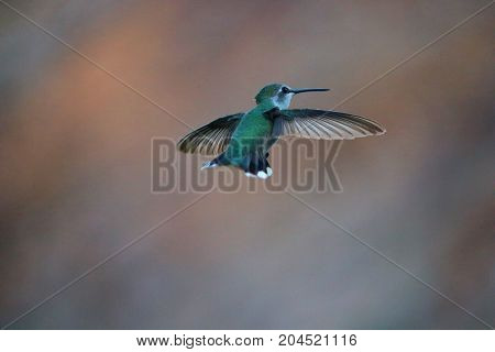 green hummingbird frozen in place with wings open