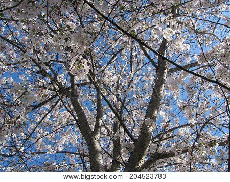 Blooming Bradford Pear tree in the Spring.