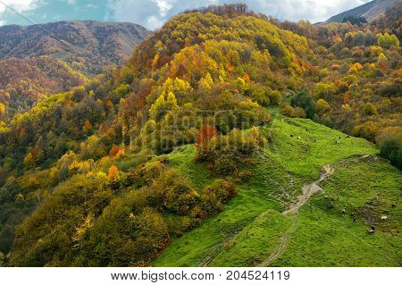 The mountains covered with the autumn woods on lawns are grazed cows. Foliage multi-colored bright colors