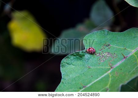 red ladybird on leaf eggplant in garden
