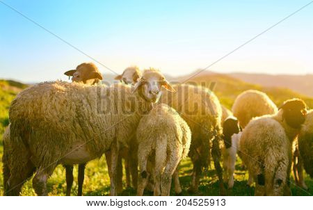 one old sheep with surprise watches herd of the sheep who are grazed on a sunset in the camera