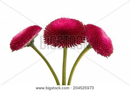 Beautiful daisy flowers isolated on white background