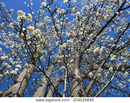 A Blooming Bradford Pear tree in Spring