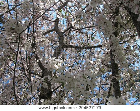 View inside a Bradford Pear tree in Spring