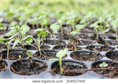 seeds are growing to sprout in soil at pots