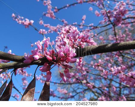 Redbud blooms in Spring time in Tennessee.