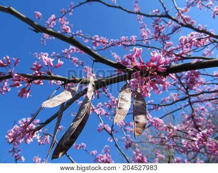 Blooming Redbud tree in Spring in Tennessee.