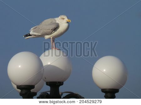 A Herring Gull stood on a lamp post