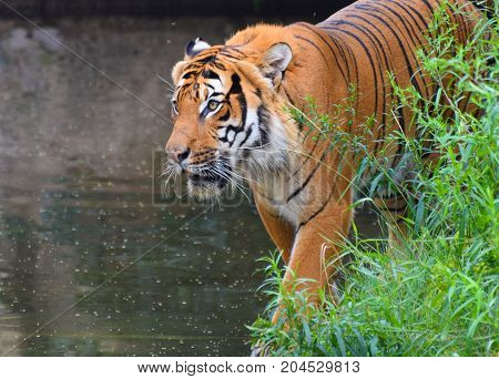A Tiger prowling though grass beside a lake