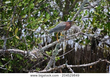 adult green heron with her babies amongst the brush