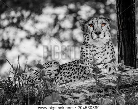 Black and White Cheetah with eyes in colour