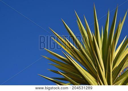 Yucca plant on a blue sky background.Spanish bayonet tree.Joshua tree.Yucca aloifolia. Vibrant background with copy space.