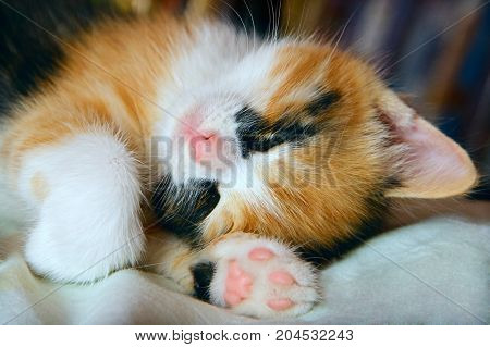 Three color cute kitten sleeping macro photografy