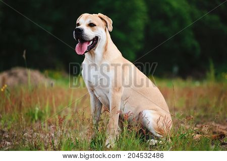 Portrait of adorable big dog cadebou looking away with mouth opened at in a meadow yellow grass background.