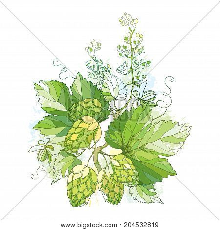 Vector stem with Hops or Humulus with ornate leaves and cones isolated on white background. Composition with hops for beer and brewery decor. Organic elements in contour style for summer design.