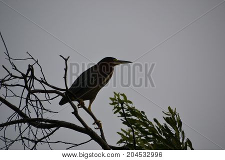 adult green heron perched in a tree on a rainy Florida day