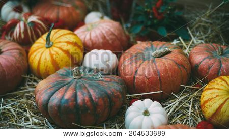Haloween or Thanksgiving Day still-life: beautiful colorful pumpkins of a different kind form size and color are laying on dry thatch after autumn harvesting; shallow depth of field