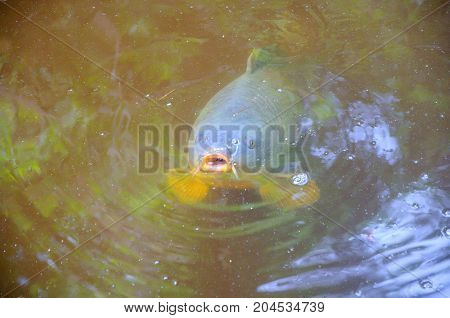 fish a carp has emerged to a water surface to inhale air