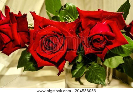 Large red roses in a large glass mug on a background of light curtains