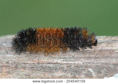 Banded Woolly Bear Caterpillar (Pyrrharctia) becomes an Isabella tiger moth