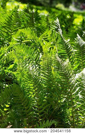 Nephrolepis exaltata fern is a fern species in the family Lomariopsidaceae