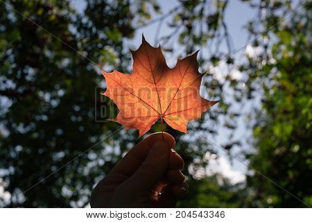 autumn maple leaf in hand close-up in the forest
