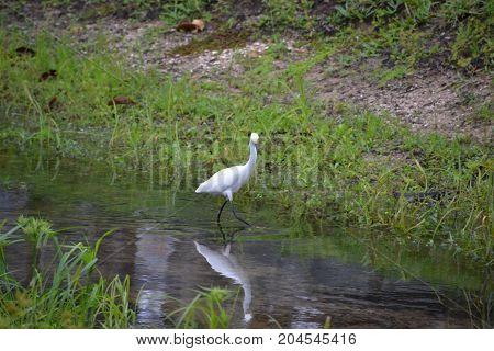 a snowy egret in a Florida marsh