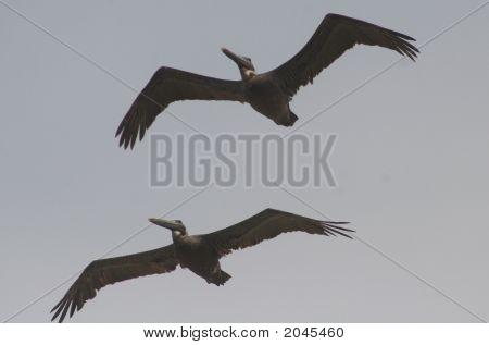 Two Eastern Brown Pelican