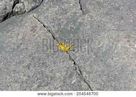 Grass In The Crack Of A Granite Rock.