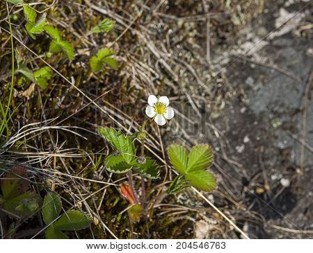 Flowering Forest Strawberries.