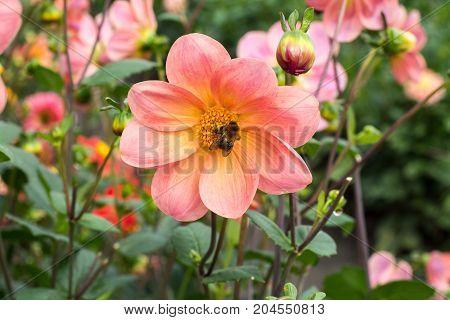 Pink Rose Dahlia Flower, Beatyful Bouquet Or Decoration From The Garden