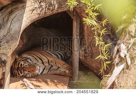 Bengal Tiger Panthera tigris is endangered in its native habitat of Nepal and India.