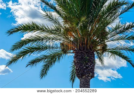 beautiful spreading palm tree on the beach exotic plants symbol of holidays hot day big leaves exotic tree