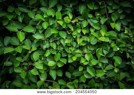 Background Pattern - Green Leaves Wall or Green Bush Background.