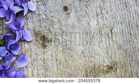 Gray aged tree and violet flowers of violets background
