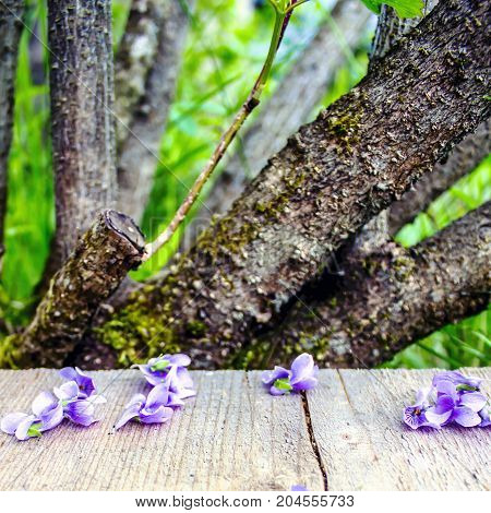 Light purple spring flowers and petals on a wooden table in the garden trees free space