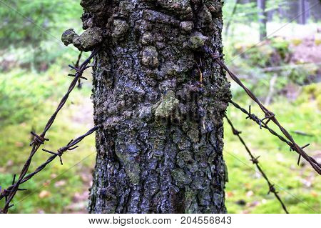 Rusty barbed wire ingrown into a tree since the war.