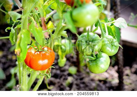 Red Tomatoes On A Branch In Greenhouse