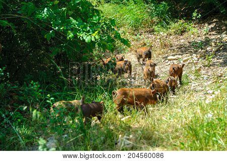 family of wild boars in search of food