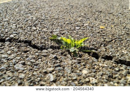 green sprout made its way through the asphalt road,