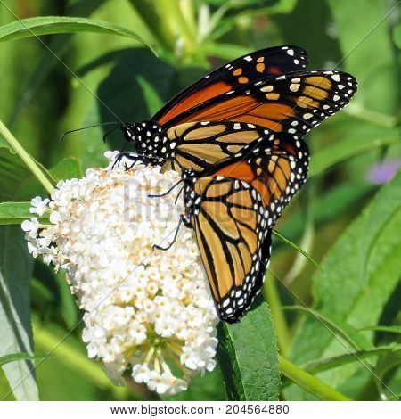 Monarch butterflies and white flower in garden on bank of the Lake Ontario in Toronto Canada September 12 2017