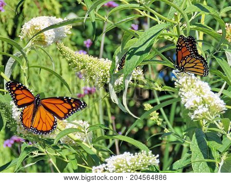 Monarch butterflies on white flowers in garden on bank of the Lake Ontario in Toronto Canada September 12 2017
