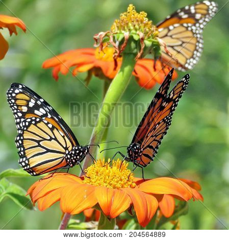 Three Monarch butterflies and red daisies in garden on bank of the Lake Ontario in Toronto Canada September 12 2017